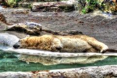 Ours blanc souffrant de la chaleur Photographie stock