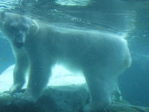 Ours blanc sous-marin Photo libre de droits