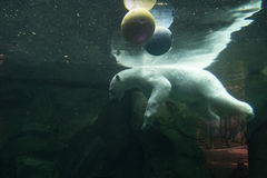 Ours blanc sous-marin au zoo Photo stock