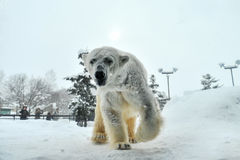 Ours blanc (zoo d'Asahiyama, Japon) Photos libres de droits