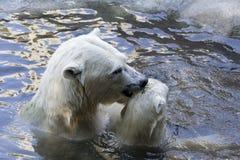 Ours blancs photo libre de droits
