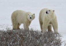 Ours blancs. photo libre de droits