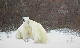 Ours blancs. Image libre de droits