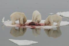 Ours blancs Image libre de droits