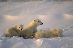 Ours blancs Photographie stock libre de droits