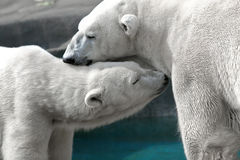 Ours blancs Images libres de droits