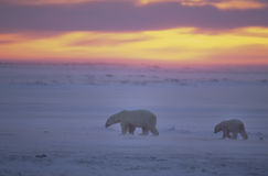 Ours blancs au coucher du soleil dans l'Arctique canadien images libres de droits