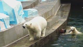 Ours blancs au zoo clips vidéos