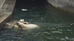 Ours blancs au zoo banque de vidéos
