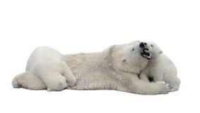 Ours blancs d'isolement sur le fond blanc Photographie stock libre de droits