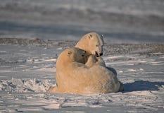 Ours blancs dans l'Arctique canadien images stock