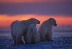 Ours blancs dans l'Arctique canadien image stock