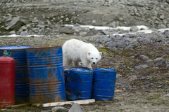 Ours blancs dans l'Arctique Ces ours boit toujours du lait, mais curieux Images libres de droits