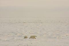 Ours blancs dans la neige arctique images libres de droits