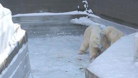 Ours blancs jouant dans le zoo banque de vidéos