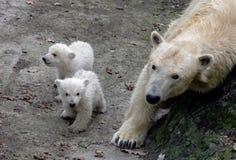 Ours blancs nouveau-nés Image libre de droits