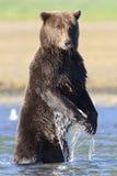Ours brun énorme avec de longues griffes se tenant en rivière image libre de droits