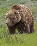 Ours brun d'Alaska Photo libre de droits