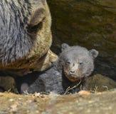 Ours brun de bébé et sa mère Images stock