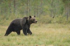 Ours brun de forêt Photographie stock