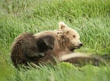 Ours brun espiègle Photographie stock libre de droits