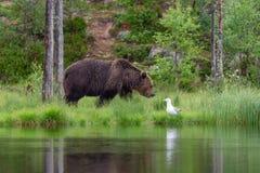 Ours brun et mouette d'harengs eurasiens images libres de droits