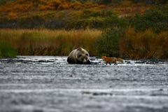 Ours brun et renard de Kodiak Photographie stock libre de droits