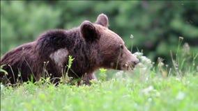 Ours brun eurasien banque de vidéos