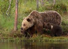 Ours brun eurasien (arctos d'arctos d'Ursus) Photographie stock libre de droits