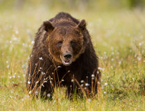 Ours brun eurasien (arctos d'Ursos) Photos stock
