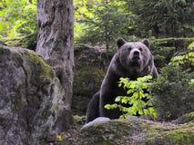 Ours brun eurasien dans la forêt Photographie stock libre de droits