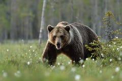 Ours brun européen marchant dans le marais Photos libres de droits