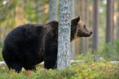 Ours brun mâle Images libres de droits