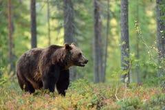 Ours brun mâle Photographie stock libre de droits