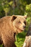 Ours brun masculin dans la forêt Photo libre de droits