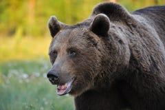 Ours brun puissant photos libres de droits