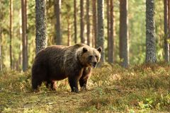 Ours brun puissant dans un paysage de forêt images stock