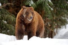 Ours brun sauvage image libre de droits