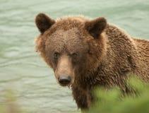 Plan rapproché d'ours de l'Alaska Brown Photographie stock libre de droits