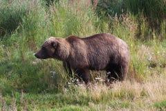 Ours côtier de Brown dans l'herbe Photographie stock