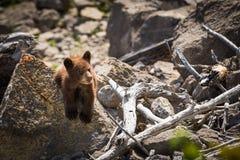 Ours Cub noir photo libre de droits