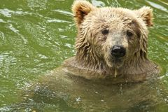 Ours dans l'eau Image stock