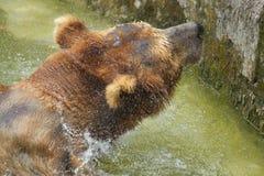 Ours dans l'eau Photo stock
