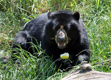 Ours dans l'herbe Images libres de droits