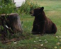 Ours dans la cour image libre de droits