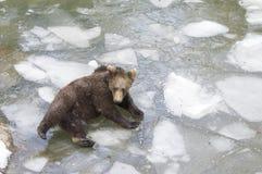 Ours dans la forêt de Bohème, Allemagne Photographie stock