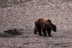 Ours dans le bâti de fleuve Image libre de droits