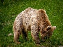 Ours dans les montagnes Photos stock