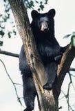 Ours dans un arbre Images libres de droits