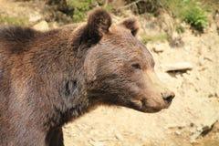Ours de Brown à un centre de réhabilitation image stock